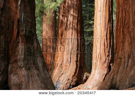 The Bachelor and Three Graces, Mariposa Grove, Yosemite