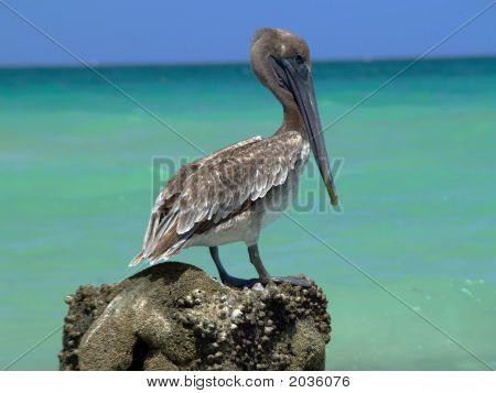 Pelican  At Miami Beach