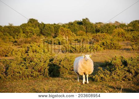 Watching sheep in a landscape with junipers at the swedish island Oland