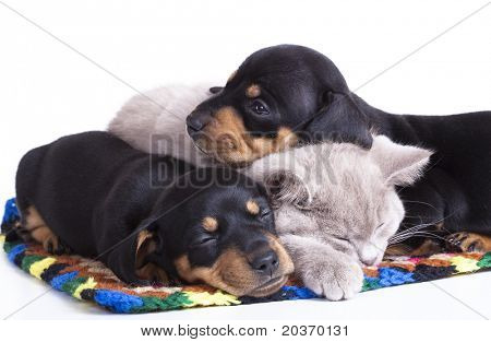 British kitten rare color (lilac) and puppies dachshund