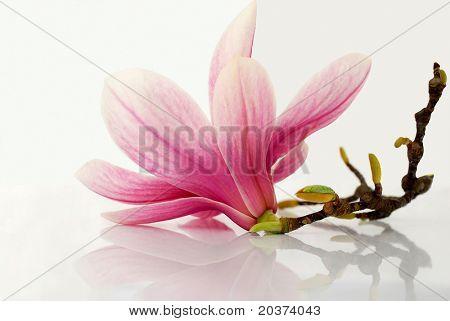 flor de Magnolia reflejada sobre fondo blanco