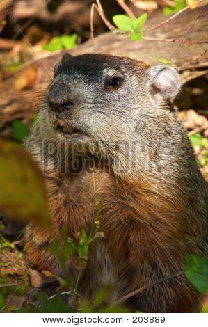 North America Marmot