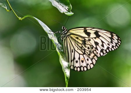 Dotted Butterfly