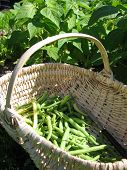 stock photo of green-beans  - A basket of green beans in the vegetable garden - JPG
