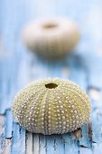 stock photo of sea life  - sea urchins on peeling paint texture - JPG