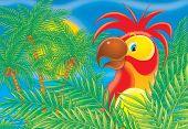 pic of palm cockatoo  - children - JPG