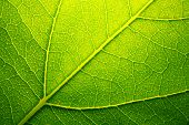 image of green leaves  - Green Leaf macro - JPG