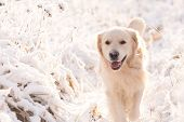 Golden Retriever Dog Playing In The Snow Field, A Dog In The Winter In The Snow poster