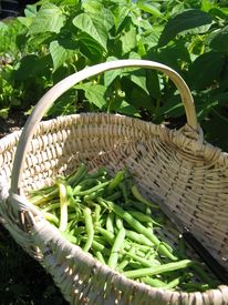 stock photo of green bean  - A basket of green beans in the vegetable garden - JPG