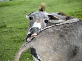 stock photo of funny animals  - Funny donkey biting his tail looking camera - JPG