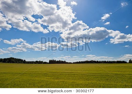 Wheat Field And A Counry Side