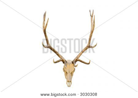 Elk Skull Isolated