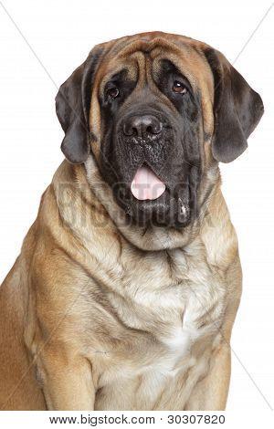 Close-up Portrait Of English Mastiff