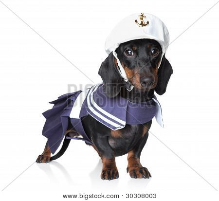 Dachshund In Fashionable Clothes