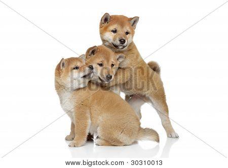 Shiba Inu Puppies Playing