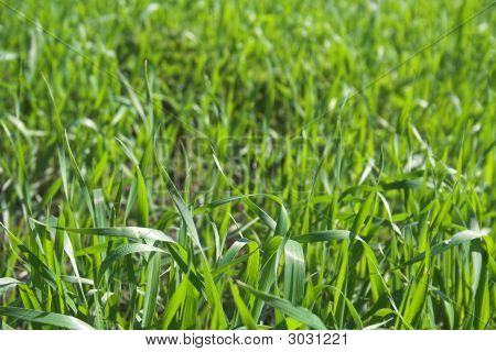 Gently-Green Wheat Grass