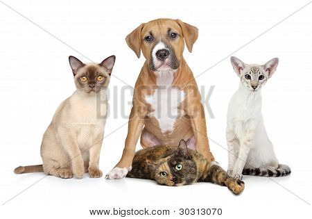 Cats And Dog Group Portrait On White Background