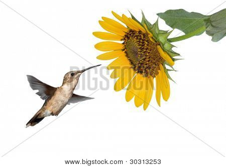 Hummingbird getting ready to feed on a wild Sunflower, isolated on white