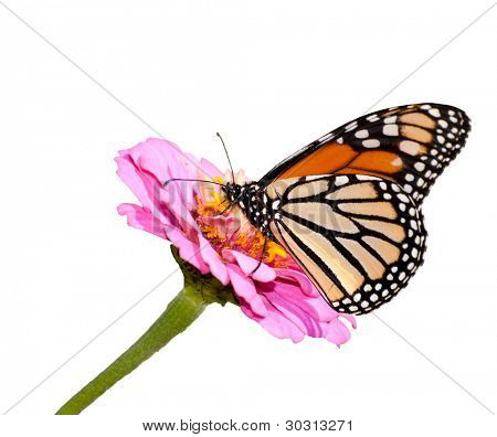 Danaus plexippus, Monarch butterfly on pink Zinnia, isolated on white