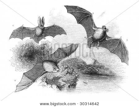A. Common Bat B. Great Bat C. Long-Eared Bat. Engraving by unknown artist from english Penny Magazine printed in 1843.