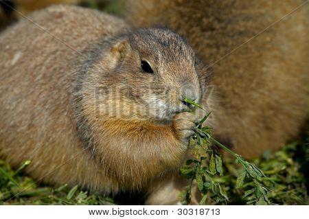 Prairie dog eating green plants