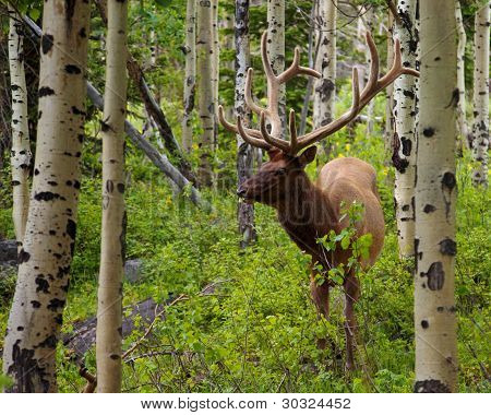 Large Male Wapiti