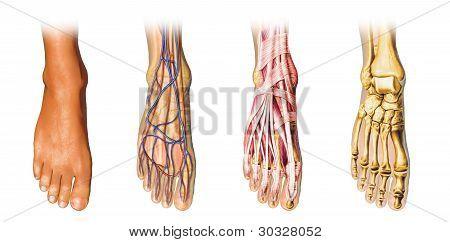 Pé humano anatomia Cutaway representação.