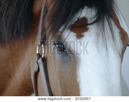 Clydesdale Face Close Up