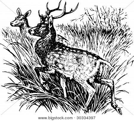 Deer cervus nippon