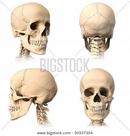 Human Skull, Four Views.