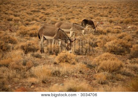 Herd Of Wild Burros