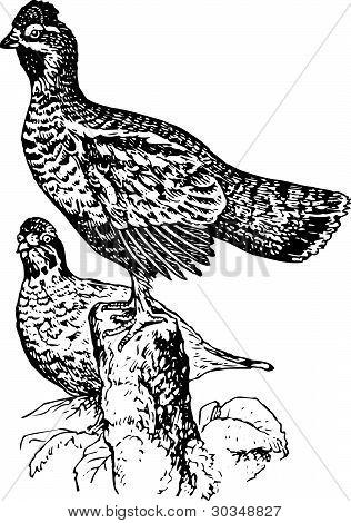 Bird tetraster bonasia