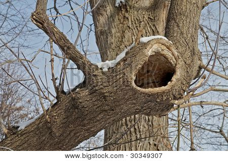 Tree With Hollow.