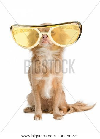 Tiny chihuahua dog with funny huge glasses