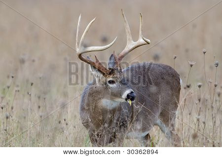 Whitetail Deer Buck In A Foggy Field