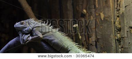 Iguana Lazy