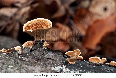 Saprobic Fungus Stereum Hirsutum