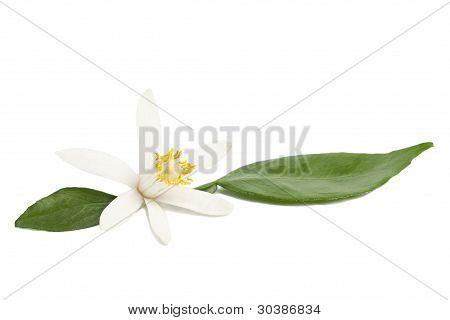 Lemon Flower With Leaves On White