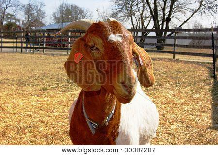Cabra dos Bôeres