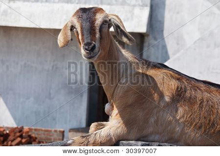 Portrait Of Brown Goat On Sunny Day