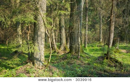 Dense Forest With Old Alder Tree In Foreground