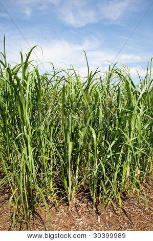 Plantas de caña de azúcar se cultiva en la biocombustibles de granja