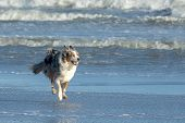 Playful Dog Running On The Beach Near The Water Line. He Floating In The Air With All Paws From The  poster