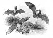 A. Common Bat B. Great Bat C. Long-Eared Bat. Engraving by unknown artist from english Penny Magazin