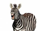 pic of hairy tongue  - Zebra with a look of laughter isolated on white background - JPG