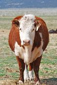 stock photo of hereford  - Hereford cow standing in a field looking forward - JPG