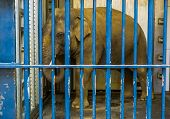 Caged Male Asian Elephant With Tusks, Elephant Behind Bars, Animal In Captivity poster