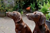 German Shorthaired Pointer Sisters, Three Years Old poster