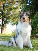 Collie, rough coat, blue merle color