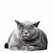 Smiling cat laying, isolated on white. British shorthair poster